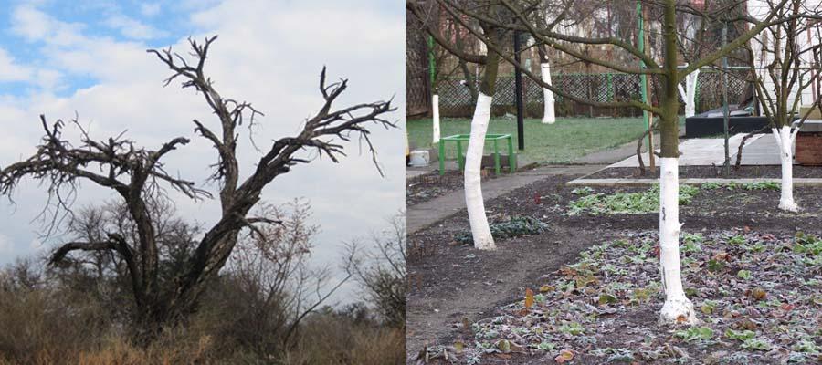 Дерево сухое и беленные
